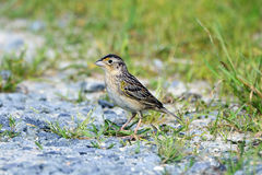 Grasshopper Sparrow Royalty Free Stock Image
