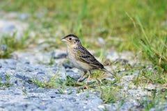 Grasshopper Sparrow Royalty Free Stock Image