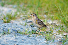 Grasshopper Sparrow Stock Photos