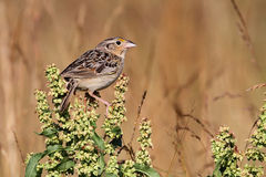 Grasshopper Sparrow (Ammodramus savannarum) Royalty Free Stock Photo