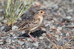 Grasshopper Sparrow (Ammodramus savannarum) Royalty Free Stock Photos