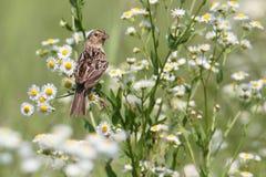 Grasshopper Sparrow (Ammodramus savannarum) Royalty Free Stock Image