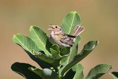 Grasshopper Sparrow (Ammodramus savannarum) Royalty Free Stock Photos