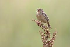 Grasshopper Sparrow (Ammodramus savannarum) Stock Photo