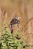 Grasshopper Sparrow (Ammodramus savannarum) on a perch Stock Image