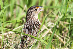 Grasshopper Sparrow Stock Image