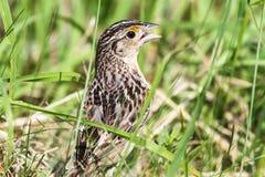 Grasshopper Sparrow. Close-up of a Grasshopper Sparrow (Ammodramus savannarum).  It is a secretive grassland bird that feeds and nests in tall grass Stock Image