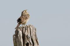 Grasshopper Sparrow Singing Stock Image