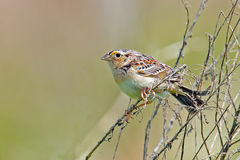 Grasshopper Sparrow Royalty Free Stock Photography