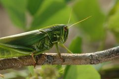Grasshopper. Species in the world, there are more than 10000 kinds of Chinese, there are more than 1000 species, distributed throughout the world`s tropical and Stock Photo