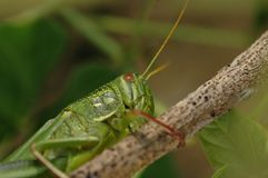 Grasshopper. Species in the world, there are more than 10000 kinds of Chinese, there are more than 1000 species, distributed throughout the world`s tropical and Royalty Free Stock Photography