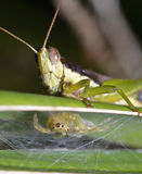 Grasshopper  and spider Royalty Free Stock Image