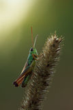 Grasshopper on spikelet Stock Photo