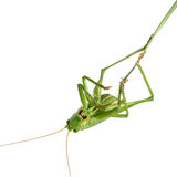 Grasshopper on a stalk isolated Stock Image