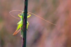 Grasshopper on a stalk Royalty Free Stock Photos