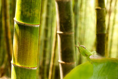 Grasshopper standing on bamboo Stock Photography