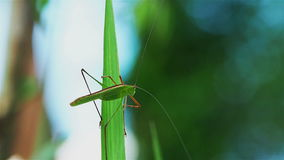 Grasshopper standing on a green leaf stock footage