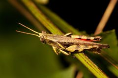 The grasshopper stands on tree. Look like want to jump Royalty Free Stock Photography