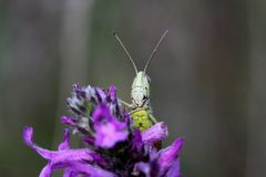 Grasshopper on a flower Royalty Free Stock Photography