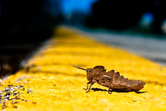 Grasshopper on the starting line Royalty Free Stock Photo