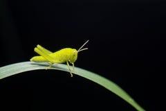 Grasshopper Stock Photography