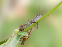 A grasshopper on stick Royalty Free Stock Image