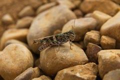 Grasshopper Among Stones Stock Photography