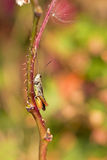 Grasshopper on a straw Stock Photos