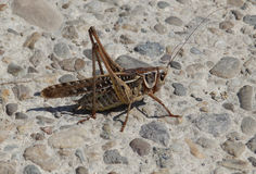 Grasshopper  on the street. A grasshopper on a street Stock Photography