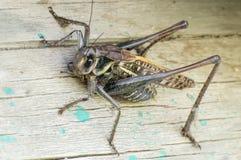 Grasshopper in the garden. Grasshopper at the summer garden Royalty Free Stock Images