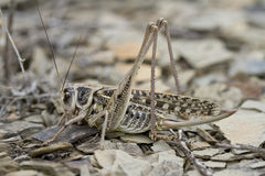 Grasshopper in summer steppe. Stock Photos