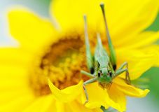 Grasshopper on a sunflower Royalty Free Stock Photography