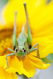 Grasshopper on a sunflower Stock Photography