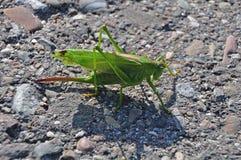 Grasshopper on sunny asphalt street Stock Photo