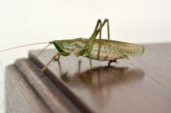 Grasshopper on table Stock Photography