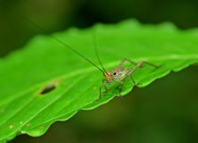 Grasshopper Royalty Free Stock Photo
