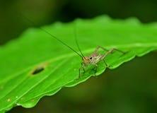 Grasshopper. Taken at Tawau Hills Park Tropical Rainforest Royalty Free Stock Photo