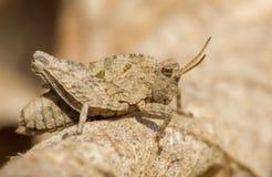 Grasshopper Tetrix undulata on leaf in Czech Republic stock photography