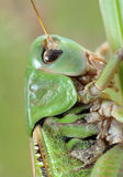 Grasshopper (Tettigonia cantans) close-up. Stock Photos