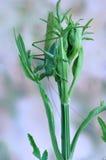 Grasshopper Tettigonia caudata on a plant Royalty Free Stock Photos