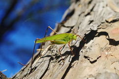 A grasshopper. There is a  grasshopper on a tree trunk Royalty Free Stock Image