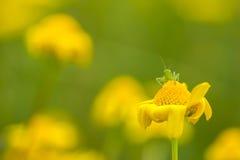 Grasshopper on top of a marigold. Green grasshopper on top of a marigold Stock Photography