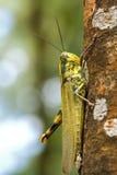 Grasshopper on a tree Royalty Free Stock Photo