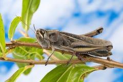 Grasshopper on tree Stock Photography