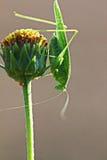 Grasshopper. 2014 Tuscany Maremma Italy Macro Stock Photography