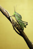 Grasshopper on twig royalty free stock images