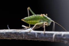 Grasshopper on twig Stock Image
