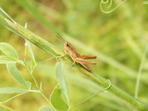 Grasshopper on twig. With green serenly background Stock Photos