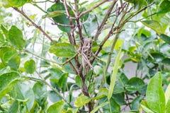 Grasshopper on  twig Stock Photos