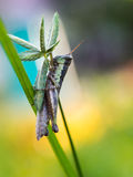 Grasshopper on The Unwanted Flora Royalty Free Stock Photography
